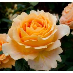 CANDLELIGHT - TANTAU ROSE...