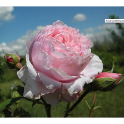 GARTENTRAUME - TANTAU ROSE...